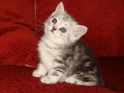 Продажа котят шотландской вислоухой