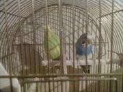 Двое волнистых попугайчиков с клеткой!!