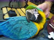 Wдома,  поднятые и зарегистрирован синих и золотых попугаи ара для прод
