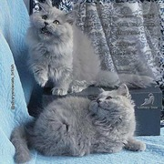 Длинношерстные котята чистопородные