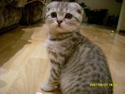 Продам котенка. Шотландская вислоухая