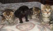 Продам шотландских клубных котят от титулованных родителей с отличной