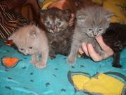 Британская короткошерстная котята,  недорого