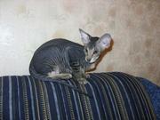 Продам котят породы Петербургский Сф